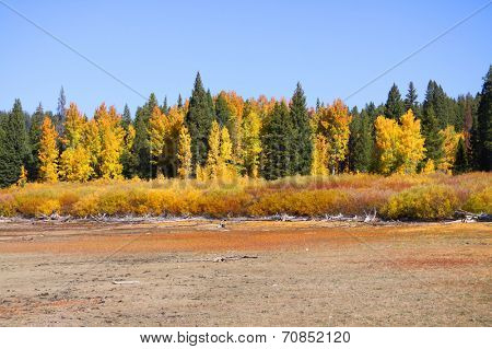 Colorful Aspen trees and Pine trees