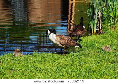 Canadian Geese Preening At The Edge Of A Pond