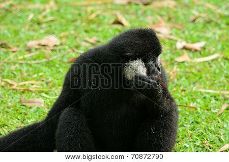 Male White-cheeked Gibbon (nomascus Leucogenys)