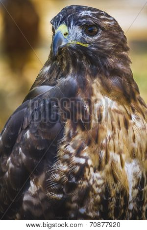 eagle, diurnal bird of prey with beautiful plumage and yellow beak