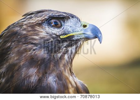 american eagle, diurnal bird of prey with beautiful plumage and yellow beak