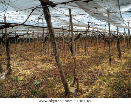 Grape fields. Turi. Apulia
