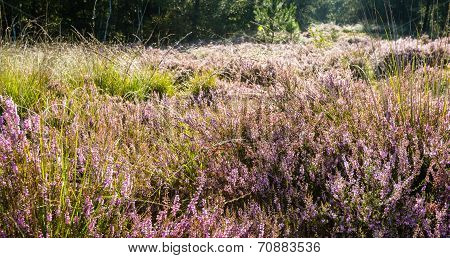 Flowering Common Heather In Early Morning Sunlight From The Back
