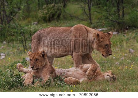 Lioness And Two Young Lions