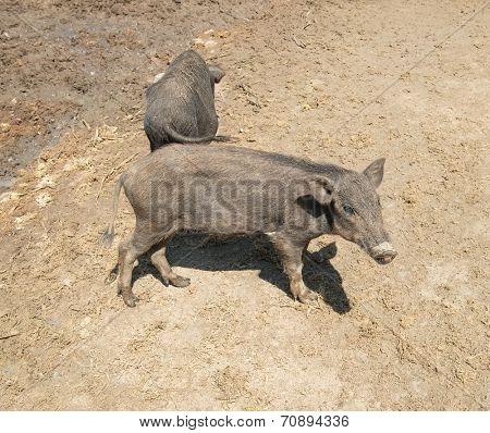 black piglets at farm