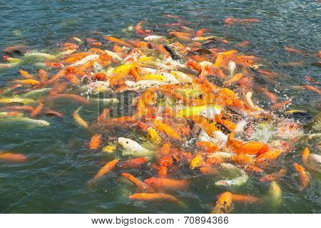 gold fishes over wate