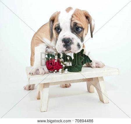 Bashful Bulldog Puppy