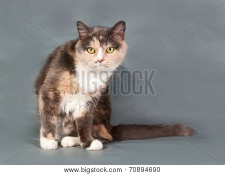 Tricolor Fluffy Cat With Yellow Eyes Sitting On Gray