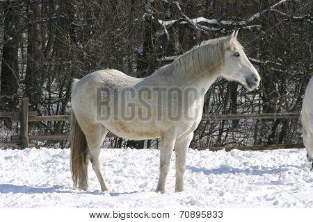 White horse in winter meadow