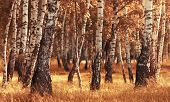 stock photo of birching  - Peaceful birch forest in sunny afternoon while autumn season
