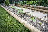 picture of phaseolus  - A row of young runner bean plants growing in a vegetable bed  - JPG