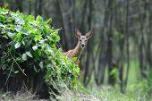 image of cervus elaphus  - Young roe deer in the summer forest - JPG