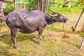 stock photo of carabao  - Water Buffalo in a farm with the beautiful horns - JPG