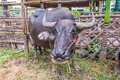image of carabao  - Water Buffalo in a farm with the beautiful horns - JPG