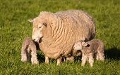pic of spring lambs  - Mother sheep looking after her new spring lambs - JPG