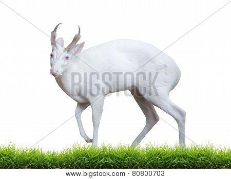 Albino Barking Deer