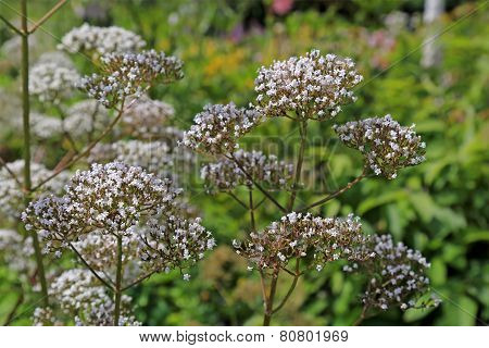 Flowers Of Valeriana Officinalis Plant