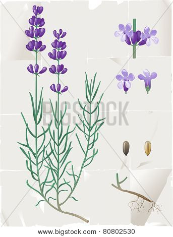 Retro-styled lavender botanical drawing