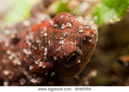 Sand Covered Toad Closeup