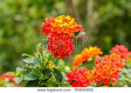 Beautiful Colorful Hedge Flower, Weeping Lantana