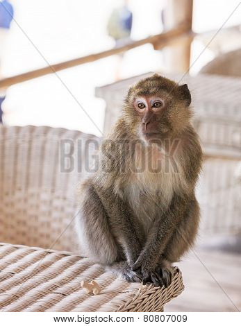 Monkey portrait on a table