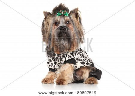 Yorkshire Terrier In Fashionable Clothes