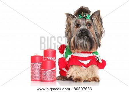 Yorkshire Terrier With Red Candles