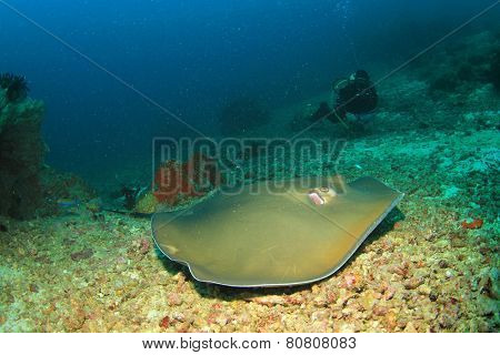 Stingray (Pink Whipray) and female scuba diver