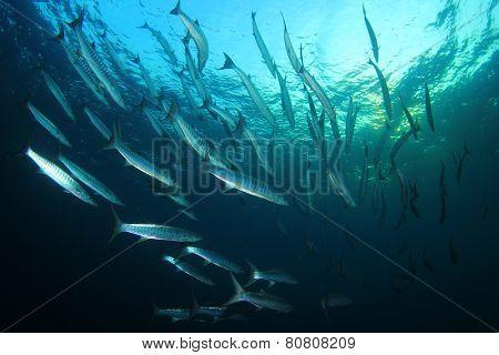 School Chevron Barracuda fish