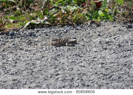Snake, Brown (Dekay's)