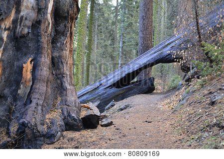 Bridge across a sequoia