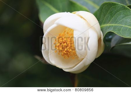 Camellia flower,Camellia amplexicaulis Cohen Stuart
