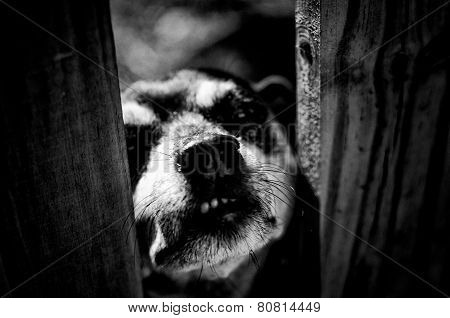 Vicious Looking Dog Peering Through Fence