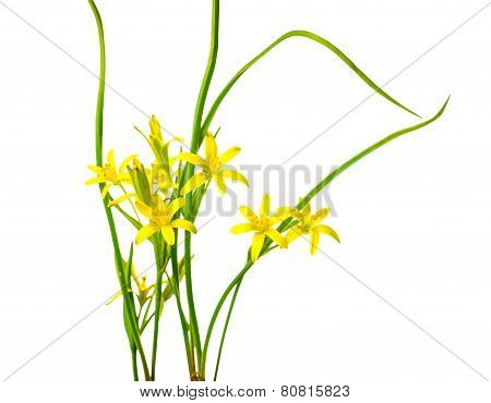Yellow Star Of Bethlehem, Gagea Lutea The First Wild Spring Flower Is Isolated On White Background