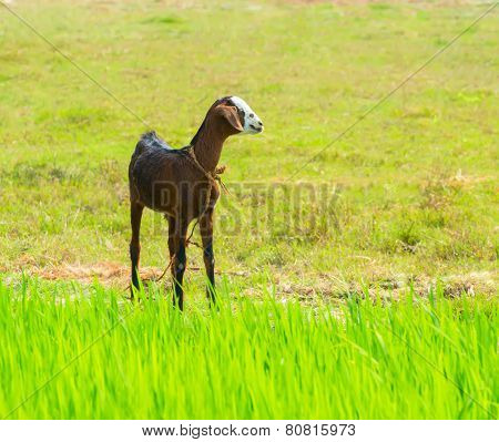 Young Brawn Nanny-goat Standing Near Green Grass