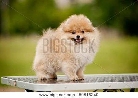 Cute Pomeranian Standing On The Grooming Table