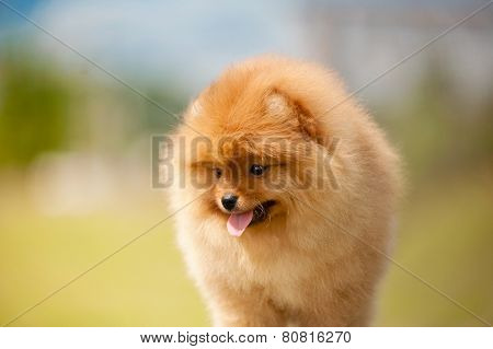 Small Pomeranian Spitz Puppy Portrait