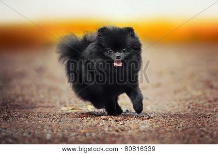 Black Pomeranian Spitz Puppy Playing