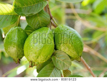 Guava Fruit Hanging on Tree