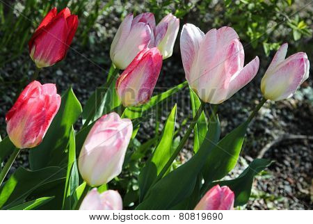 Sunlit red and pink tulips