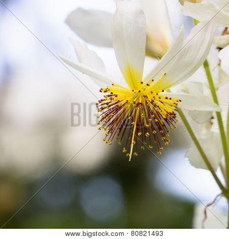 Sparmannia Africana
