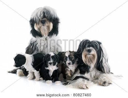 Tibetan Terrier Family