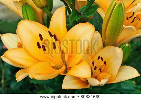 Yellow Lilies In a Garden