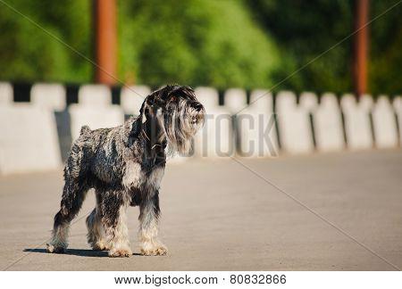 Dreamy Schnauzer Standing At Bridge