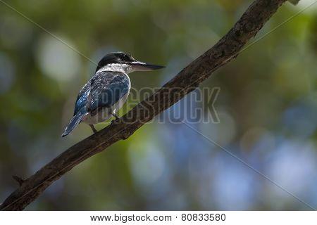 collared kingfisher (Todiramphus chloris) at Bardia, Nepal