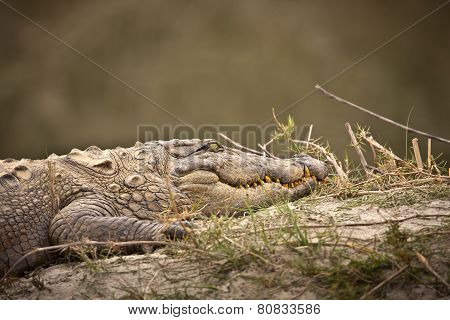 mugger crocodile (Crocodylus palustris) at Bardia, Nepal