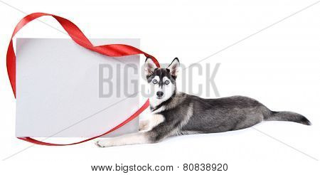 Cute husky puppy with empty greeting card, isolated on white