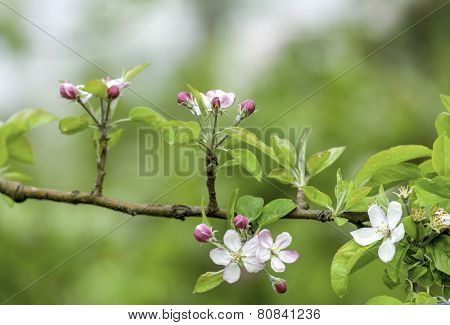 spring flowers. blossoms of apple tree, cherry