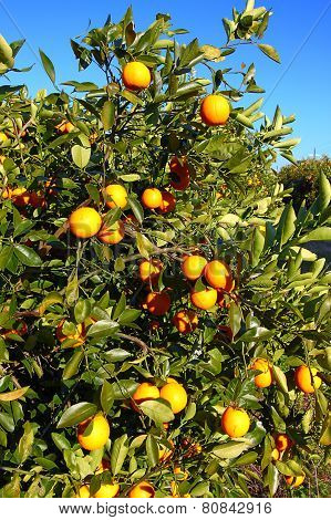 Orange Tree Landscape Florida