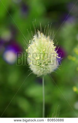 Lagurus ovatus close up